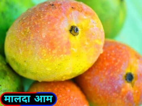 मालदा आम / Manda Mangoes.
