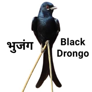 Black drongo भुजंग