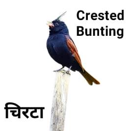 Crested-Bunting-चिरटा