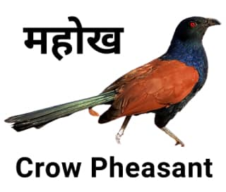 Crow-pheasant-महोख