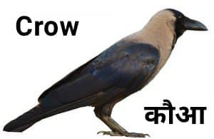 Crow कौआ