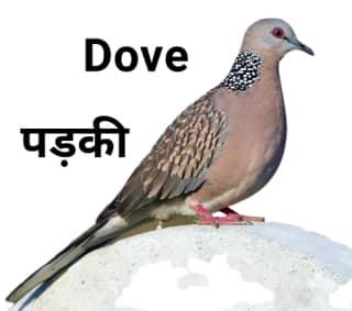 Dove-पड़की