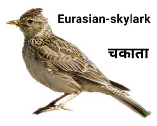 Eurasian-skylark