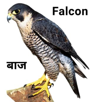 Falcon-बाज