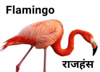 Flamingo राजहंस