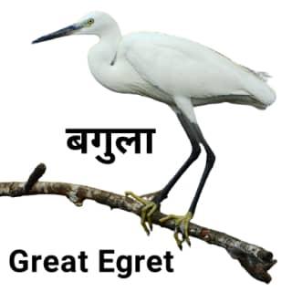 Great-egret बगुला