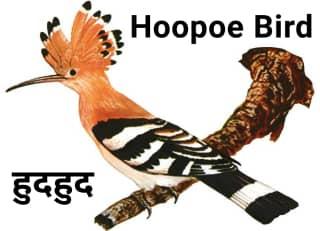 Hoopoe हुदहुद