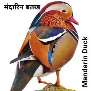 Mandarin duck मंदारिन बतख