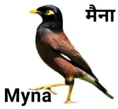 Myna मैना