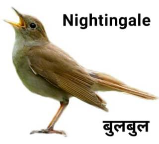 Nightingale, Bulbul बुलबुल