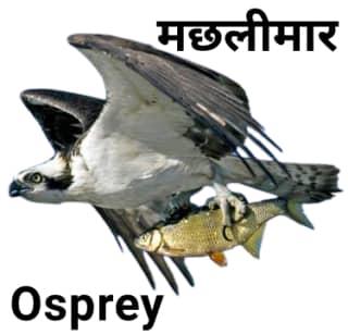 Osprey-मछलीमार