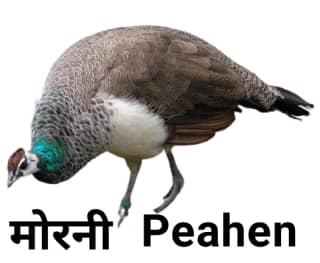 Peahen मोरनी