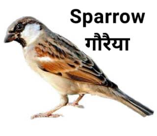 Sparrow गौरैया