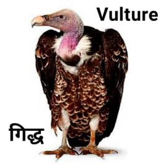 Vulture गिद्ध