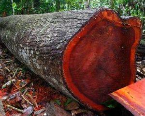 Mahogany tree in hindi, महोगनी का पेड़ कैसा होता है?