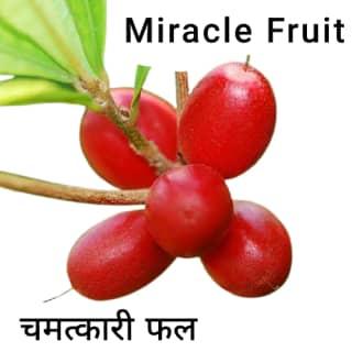 Miracle-fruit-चमत्कारी-फल